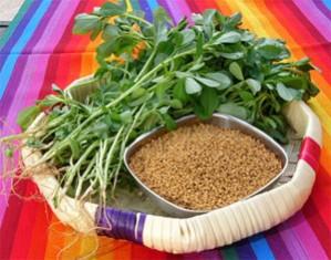 fenugreek male herbal breast enhancement